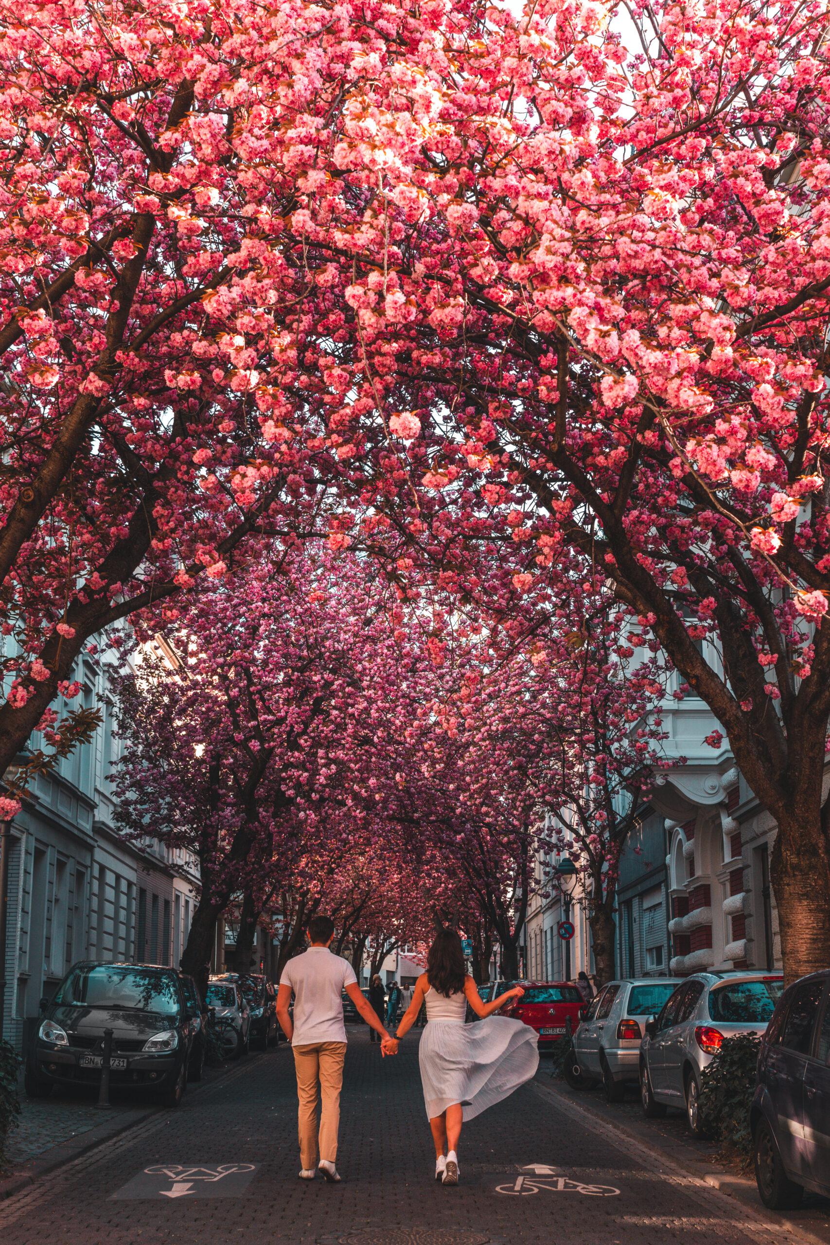 Bonn Cherry Blossom Guide